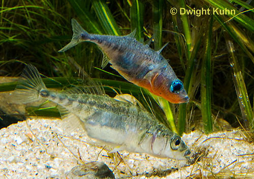 1S55-505z  Threespine Stickleback, gravid female entering male's nest to lay her eggs, Gasterosteus aculeatus