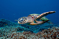 Hawksbill turtle, Eretmochelys imbricata, foraging over the reef , North point, The Similan islands, Andaman sea, Indian Ocean, Thailand, Asia