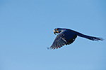 A hyacinth macaw in flight in the Pantanal, Mato Grosso, Brazil.