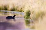 Slate-colored Coot (Fulica ardesiaca) in pond, Ciudad de Piedra, Andes, western Bolivia