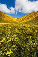 Goldfields bloom along Bitterwater Valley Road in Kern County, California