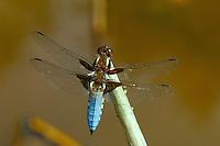 Plattbauch, Männchen, Plattbauch-Libelle, Plattbauchlibelle, Libellula depressa, Broad-bodied Chaser, Broadbodied Chaser, broad bodied chaser, male