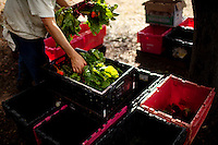 Ojai, California, October 19, 2010 - CSA members load the weekly harvest including a selection of ruby red and golden yellow beets at Rio Gozo Farm for their CSA, Community Supported Agriculture, members. The 4-acre farm is cultivated and managed by micro-farmer John Fonteyn and his wife Elizabeth. While there are several farms in Ojai that operate CSAs, Fonteyn saw a need for nearby Ventura, where no such opportunity exists. Though farming is a fairly solitary profession, Fonteyn has made a point to include the community by selecting creative pickup destinations and by hosting seasonal parties at his farm so that his members can visit, meet one another and learn more about where their food comes from. Members can also volunteer to help harvest once a week in exchange for food and the knowledge of how to grow and harvest various vegetables. Fonteyn also reaches out into the community by donating his time and some of his harvest to organizations that help to promote shared ideas of sustainability, local sourcing, and organic farming and well as building a network of communities around these shared values. ..Community Supported Agriculture, CSA, is an idea began in the 1960's whereby a farmer offers 'shares' to the public in return for payment up front. Each week the farmer delivers what seasonal produce is harvested. There are many advantages to both the farmer and the consumer. Benefits to the farmer include: 1) He has time to market early in the season to build subscriptions, allowing for more time during farming seasons to focus on the long harvesting days; 2) He receives payment early in the season which helps with the cash flow for seeds, planting and other up front costs; and 3) It allows the farmer to grow a more varied crop, minimizing the economic effects of trends in produce.  Benefits to the consumer include: 1) Ultra-fresh, locally grown, often organic produce; 2) Exposure to new vegetables and new ways of cooking; 3) Opportunity to develop a relationship