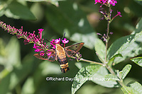 04005-00310 Snowberry Clearwing (Hemaris diffinis)  on Butterfly Bush (Buddleia davidii) Marion Co.  IL