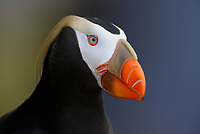 Tufted Puffin (Fratercula cirrhata). St. Paul Island, Alaska. August.