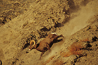 California Bighorn Sheep ram running down steep scree slope.  Western N.A.,  fall.