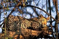 Leopard, Panthera pardus, in tree, Okavango Delta, Botswana, Africa
