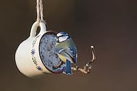 Blaumeise, selbstgemachtes Vogelfutter in einer Tasse, Vogelfütterung, Fütterung, Fettfuttermischung, Fettfutter, Meisenknödel, Blau-Meise, Meise, Meisen, Cyanistes caeruleus, Parus caeruleus, blue tit, bird's feeding, La Mésange bleue.