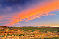 Canola crop at sunset<br /> Braddock<br /> Saskatchewan<br /> Canada