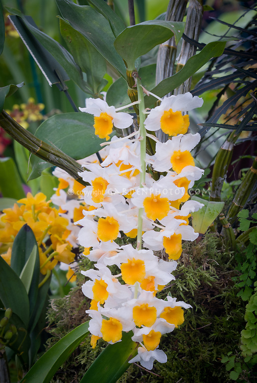 Dendrobium thyrsiflorum orchid species, pendant flowers, Pinecone-like Raceme Dendrobium native to the Himalayas and mountains of northern Indochina.