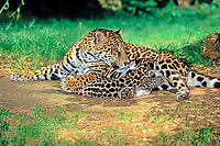 jaguar, Panthera onca, adult, female, mother, nursing cub