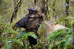 Olympic Peninsula, Washington , elk