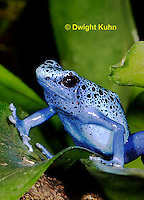 FR24-503z      Blue Poison Arrow Frog, Dendrobates azureus, Central America