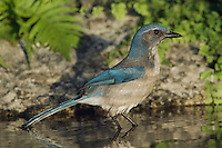 Western Scrub-Jay,  Aphelocoma californica, adult bathing in spring fed pond, Uvalde County, Hill Country, Texas, USA