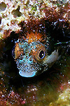 Acanthemblemaria maria, Secretary blenny, Grand Cayman