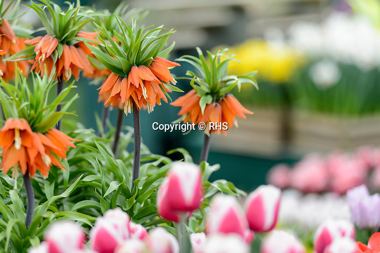 Fritillaria imperialis. Pheasant Acre Plants. in the Floral Marquee at the RHS Show Cardiff 2016.