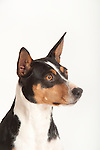 American Rat Terrier Dog, Head Study, Studio, White Background