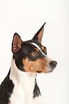 American Rat Terrier Dog, Head Study, Studio, White Background