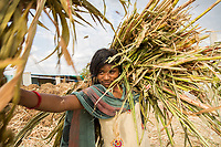 A girl carries sugar cane in a cattle camp near the town of Latur. Sugar cane has been blamed by many for being one of the factors contributing to drought conditions in the region as it requires high amounts of water during its growth. Failed rains have left farmers unable to grow this profitable crop, leaving many in financial trouble.