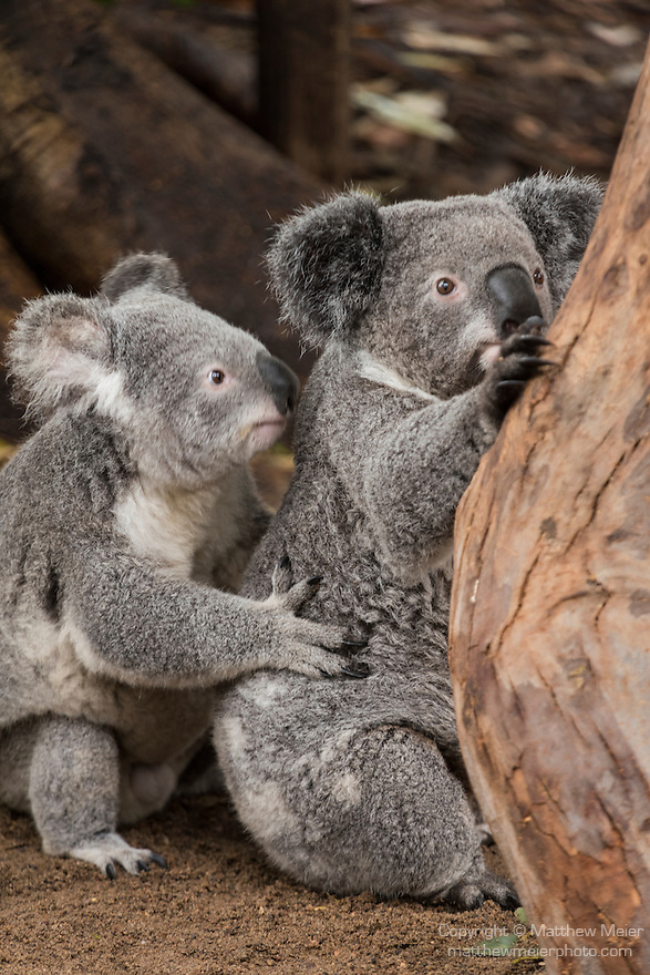 Sydney, New South Wales, Australia; a pair of Koalas at the base of a tree