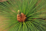 Close up of pine cone on evergreen tree pine