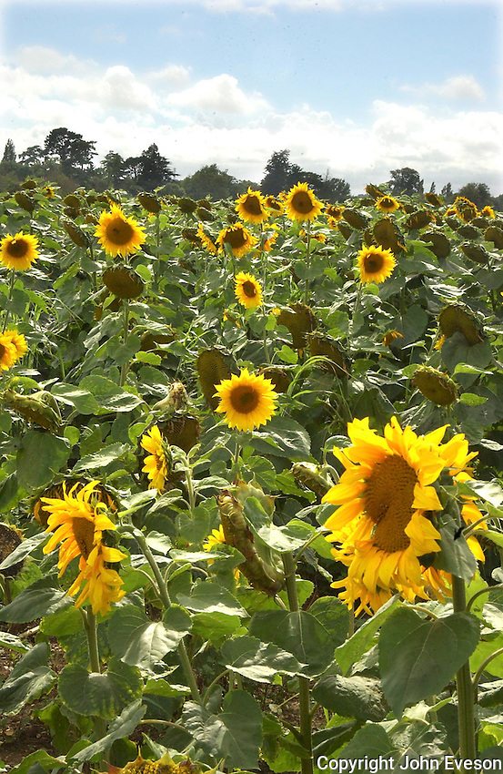 A field of sunflowers on DGJ Tanner's Sopley Farm, Christchurch, Dorset which has been strimmeed to make an elephant shaped maize. Four different varieties have been used to give a spread of flowers over the school holidays. The field will be combined in September.