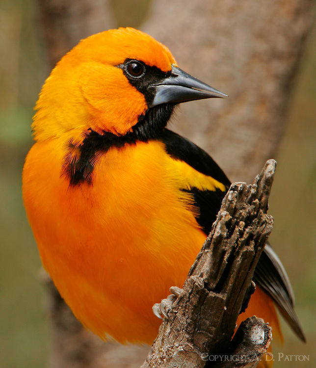 Adult altamira oriole head-and-shoulders view