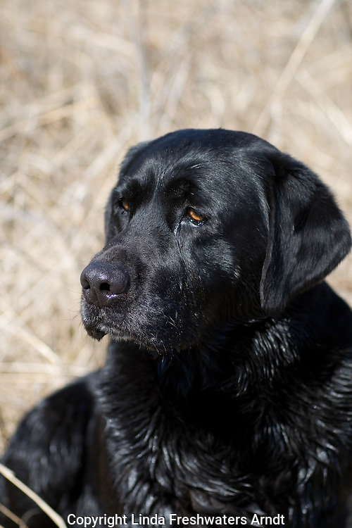 Black Labrador retriever (AKC) sitting