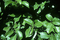 Portugal Laurel Prunus lusitanica (Rosaceae) HEIGHT to 8m <br /> A small, spreading evergreen tree, or usually a shrub. BARK Smooth or occasionally flaking, and very dark grey to black. BRANCHES Widely spreading, with twigs that are reddish and smooth. LEAVES Dark-green, glossy and slightly leathery, and up to 13cm long. The leaves are lanceolate to elliptical and tapering at the tip, with a rounded base and a toothed margin. The reddish petiole is about 2cm long. REPRODUCTIVE PARTS The white flowers are borne in long tapering spikes, up to 26cm long and composed of about 100 strongly scented flowers. They grow out of the leaf axils and exceed the length of the leaves, and are usually pendent. The fruits are up to 1.3cm long, ovoid or rounded with a tapering tip, purplish-black when ripe and containing a smooth, rounded stone with a ridged margin. STATUS AND DISTRIBUTION A native of Portugal, Spain and SW France, but frequently planted elsewhere in the milder parts of W Europe, including Britain and Ireland.