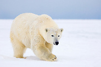 polar bear, Ursus maritimus, on ice and snow, 1002 Coastal Plain of the Arctic National Wildlife Refuge, Alaska, USA
