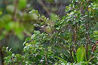 Orange-chinned Parakeet or Tovi Parakeet (Brotogeris jugularis) in the pouring rain.  Found in Central America south to northern South America.  This one photographed in Costa Rican rainforest.
