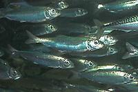 Hering, Schwarm, Clupea harengus, Atlantic herring, digby, mattie, slid, yawling, sea herring