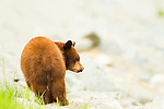 A cinnamon colored black bear cub seen in the Callahan Valley area of British Columbia, Canada, on June 24 2011. Photo by Gus Curtis.