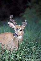 White tailed deer with emerging antlers in the grass