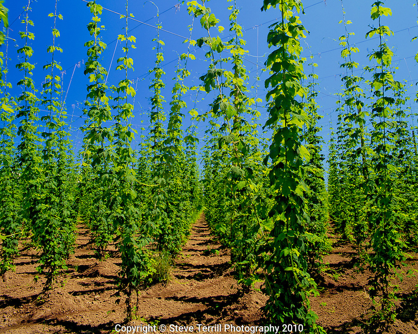 Hops reaching for the sky as they cling to strings and wire in Marion County, Oregon