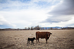 YERINGTON NV - JANUARY 29, 2014: A cow and newborn calf on Darrell Pursel's ranch as a drought emergency is declared in Nevada. Pursel's family has owned the ranch since 1863, and he can't remember a drought this bad. CREDIT: Max Whittaker for The New York Times