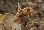 Indonesia, Lembeh, Lembeh Straits, Pseudomonacanthus macrurus, Strapweed filefish, Underwater macro marine life images, underwater marine life