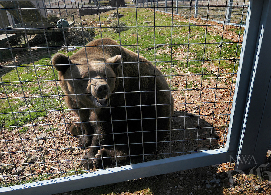 NWA Democrat-Gazette/BEN GOFF @NWABENGOFF<br /> Bam Bam, a grizzly bear, hangs out in his habitat on Thursday March 3, 2016 at Turpentine Creek Wildlife Refuge in Eureka Springs.