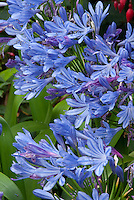 Agapanthus flowers, blue blooms, Lily of the Nile, summer bulb
