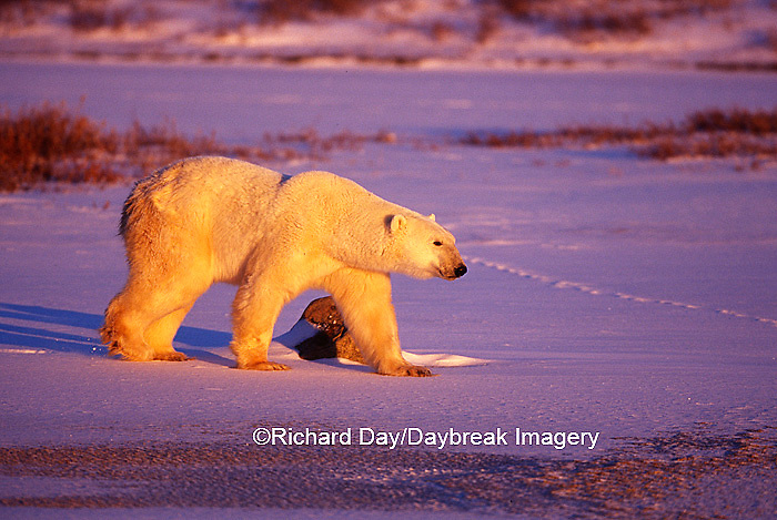 Polar Bear (Ursus maritimus) walking across frozen pond at sunset  Churchill  MB