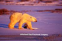 Polar Bear (Ursus maritimus) walking across frozen pond at sunset  Churchill  MB