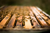 March 11, 2009. Durham, NC..Durham local, David Fruchtenicht has kept bees for almost 50 years. With bees kept in Durham, Chatham and Orange counties, he sells his honey at the Durham Farmer's Market and keeps a few hives in his backyard.