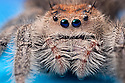 Regal Jumping Spider {Phidippus regius} female. Captive, originating form North America. website