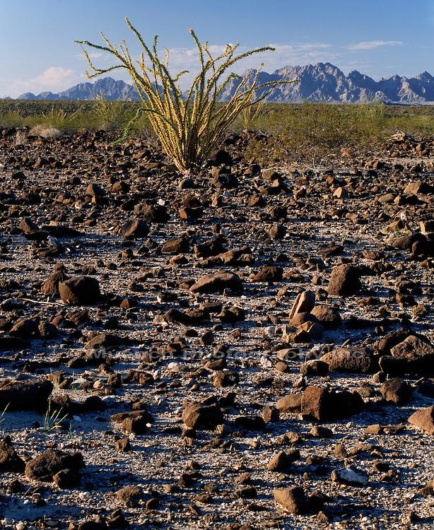 """Ocotillo, Lechuguilla Desert Cabeza Prieta NWR  ARIZONA"""