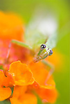 Green Grasshopper, on orange flower, Manu, Peru, jungle, soft focus, colourful. .South America....