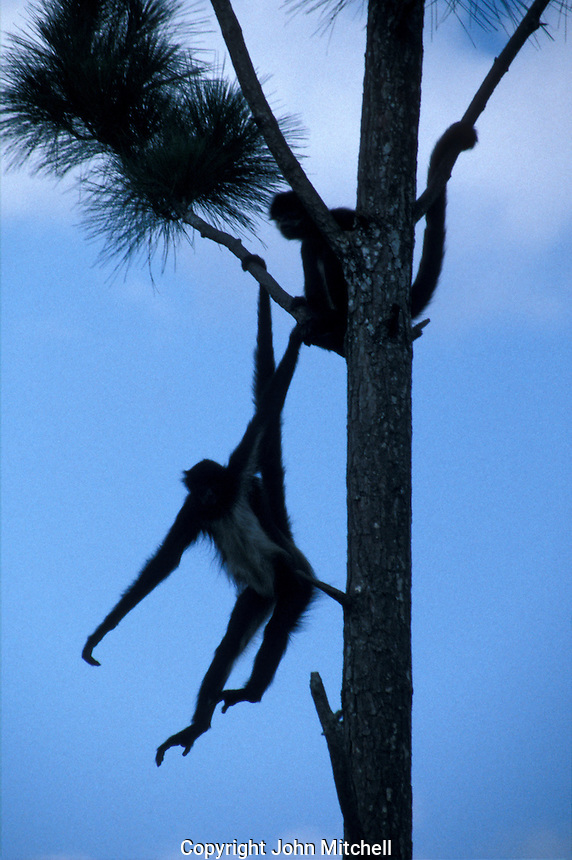 Black spider monkeys (Ateles paniscus) hanging by their tails from a tree, Belize Zoo, Belize, Central America
