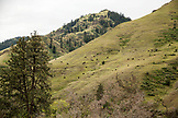 USA, Oregon, Joseph, cattle graze on a hillside in a canyon up Big Sheep Creek