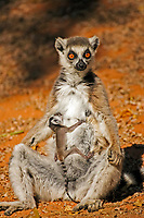 Ring-tailed Lemur (Lemur catta), adult, female, with a young animal, suckling, Berenty Game Reserve, Madagascar, Africa