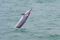Chinese white dolphin, Sousa chinensis, a subspecies of Indo-Pacific humpback dolphin, adult, female, breaching, Hong Kong, China, Pearl River Delta, South China Sea, Pacific Ocean