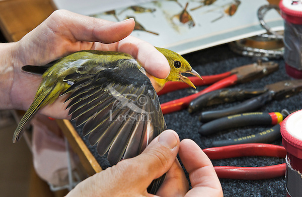 Scarlet Tanager (Piranga olivacea) female has wing inspected during fall bird banding to help monitor migration & population trends, Haldimand Bird Observatory, s. Ontario, Canada.